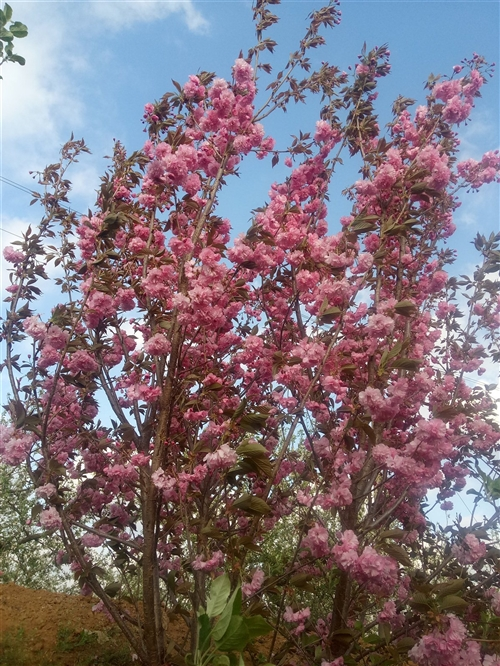 櫻花苗木,干高1米一上頂桿,5~7公分的有要的可聯系,貨多價優啊