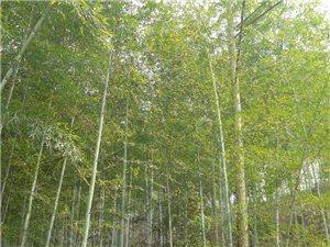 1000多亩竹林山林转让,可砍竹子,挖冬春笋,国家每年有朴贴,证件齐全,有意请联系139292202...