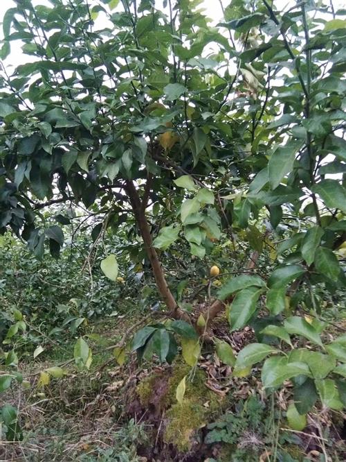 由于土地流转,急出自家柠檬树!! 已经挂果,价格便宜,有意者联系!!!