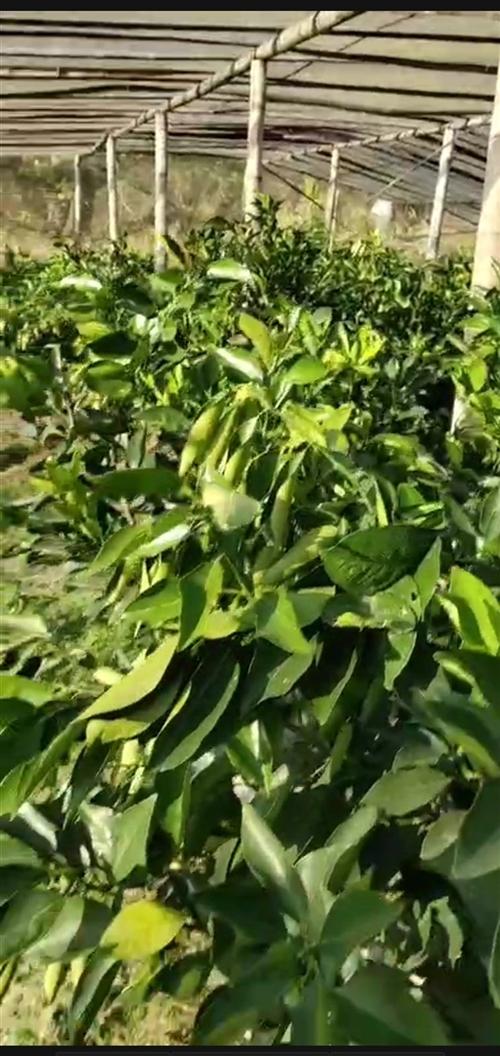 三年前嫁接的脐橙苗,由于无能力种养,现在忍痛转让,有需要的老板看上准发财,树苗在下元畲,非诚勿扰。