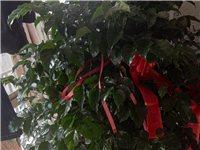 安房朋友送的两盆花,因工作原因无法照料,现低价处理。发财树,幸福树,个一百五十元处理两盆300需要的...