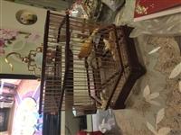 紅公玉鳥出售,叫的很旺,有母的直接可以搭對了!要回老家所以想出售了!13993780588.1307...