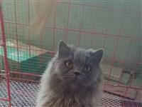 出售自养蓝猫(美短,返祖),无皮肤病,性格温顺不闹,16个月大,橘眼,另有一支黑色MM蓝猫出售,6个...