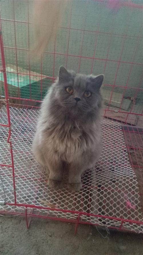 出售自養藍貓(美短,返祖),無皮膚病,性格溫順不鬧,16個月大,橘眼,另有一支黑色MM藍貓出售,6個...