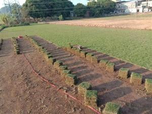 因工程结束,现还有120捆精品台湾草皮,现低价转让。有意电联:13543238252