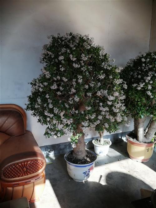 玉树,本地俗称金钱树。花期很长,有三个月左右,从腊月一直能开到二月二以后。两株可单卖,高的花多的这树...