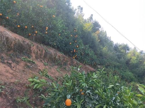 本人在会昌筠门岭有一片脐橙果园出售,十年大树约500株,未挂果小树约300株。果园很漂亮。我因为忙不...