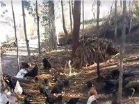 卖土鸡,送货上门,可杀在送,自家养殖的,无任何添加剂,会东县城周边,母土鸡,28一斤,公鸡30一斤,...