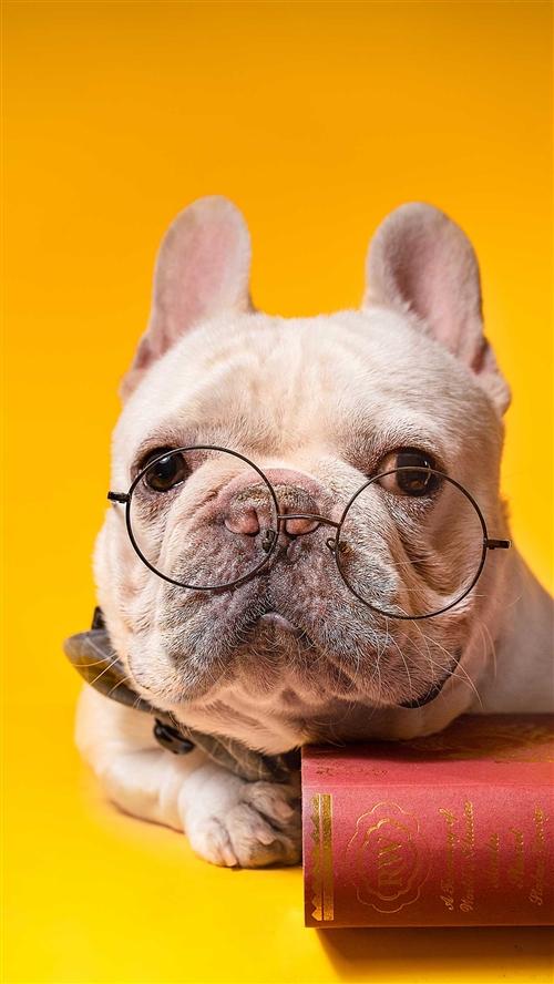 求購一條小泰迪狗狗