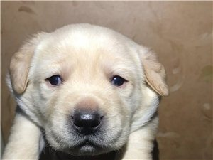 自家拉布拉多幼犬出售! 自家繁殖就这一窝,已经快满月了 现余3母2公(包一支疫苗和驱虫) 骨架...
