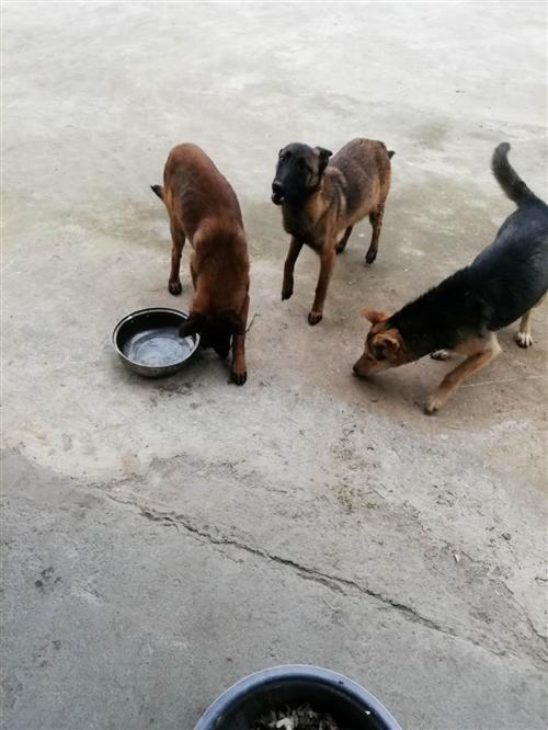 本人因要出工,沒有時間養,所以出售三只狗,兩只馬犬,一只土狗,惠水同城,有要的聯系180854191...