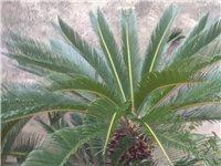 二十年铁树忍痛出售,连盆一起,如图,养的非常好,大的一千,小的三百,连盆,13865769199