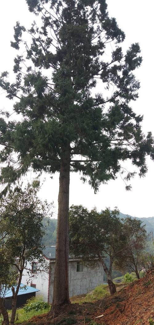 出售杉木,有需要的老板歡迎聯系。電話13595583486。