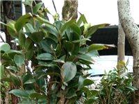 因企业园林转型,现有造型漂亮、适合室内种植的发财树一批,现二折出售,几十元钱就可买到几百元的靓树,另...