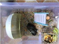 仓鼠免费送,包括笼子笼子里所有的,自提