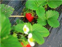 原價25元一斤的雪里香草莓,現僅需29.9搶購2斤