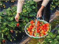 峡江草莓采摘59元2斤