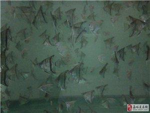 出售自家繁殖燕魚