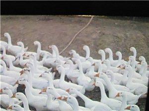 自家养殖大白鹅出售