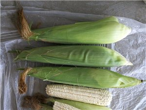 四十畝白糯玉米待售