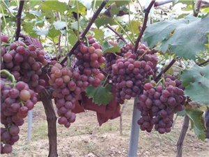 三畝地大型葡萄采摘園
