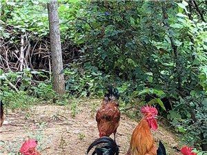 打野笨公鸡,笨公鸡