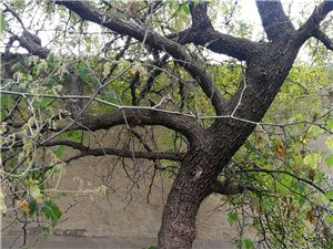 百年野生酸棗樹
