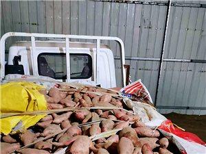 批發大量紅薯