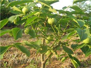 出售核桃樹