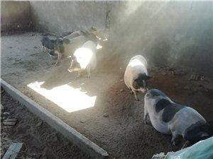 巴马香猪出售
