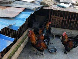出售自家家网土现鸡