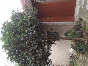 出售桂花樹