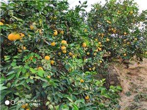 吉潭8000斤脐橙出售,没有打zheng