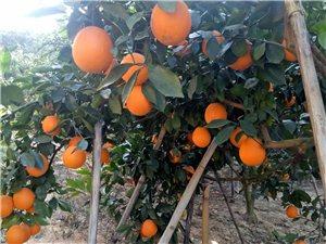 吉潭有一万多斤脐橙,有兴趣的老板前来订购。
