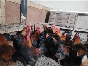 竹鸡篱农家散养鸡