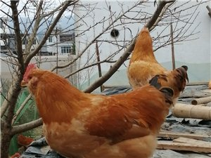 出售自家果园网下散养的惠州胡须鸡