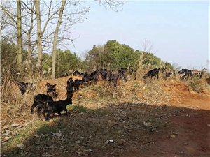 有大量放养黑山羊出售
