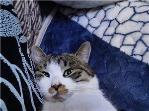 猫咪丢失,捡到主子联系我