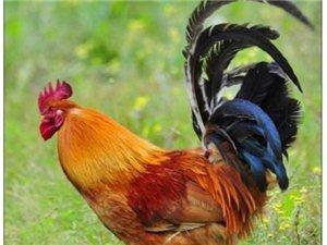 儋州土腌鸡