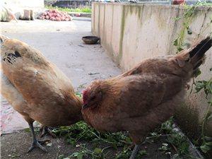 鸡鸭鹅出售