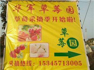 永康(华军草莓园)奶油草莓采摘特价