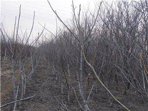 青州市火車站附近綠化桃樹幾百棵