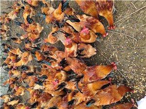 跑山雞,土雞,生態養殖