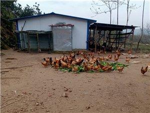 常年出售土雞、土雞蛋