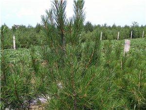 白皮松大田树1.5米到2米