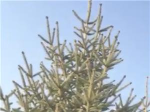松树低价售卖