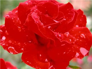 带刺的蔷薇