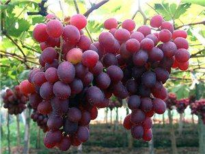 甜蜜盛宴约起来,葡萄采摘乐趣多。
