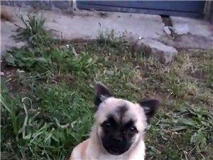 7月2日下午18点左右,我家小狗在田横镇羊山后村街上走丢,基?#25937;?#23450;是被抱走了。小狗毛是土黄色,额头有