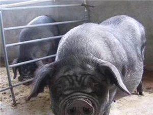 出售黑猪肉